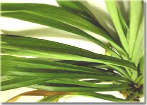 pandan leaves as cockroach repellant How to prevent cockroaches in cars including using fresh pandan leaves believe that the scent of fresh pandan leaves provides a natural cockroach repellent.