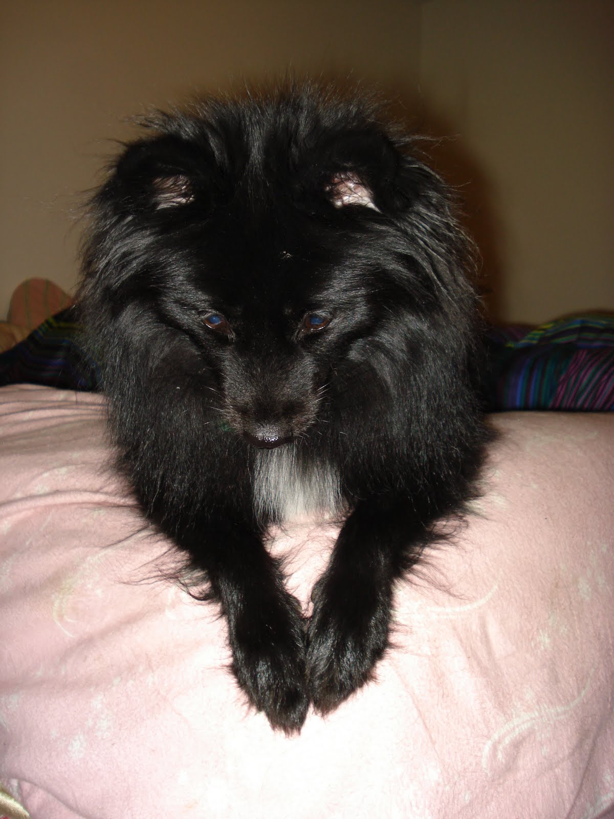 Black Baby Pomeranian Images & Pictures - Becuo