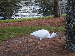 Egret at Riverside