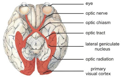 external image eye-brain.jpg