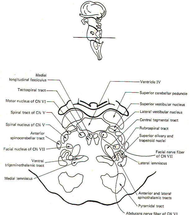 Anatomy of pons