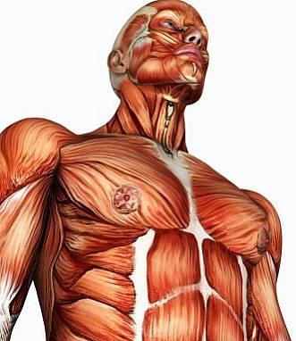 Músculos / Ossos / Articulações