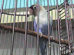 Koleksi Love Bird Poskicau.com