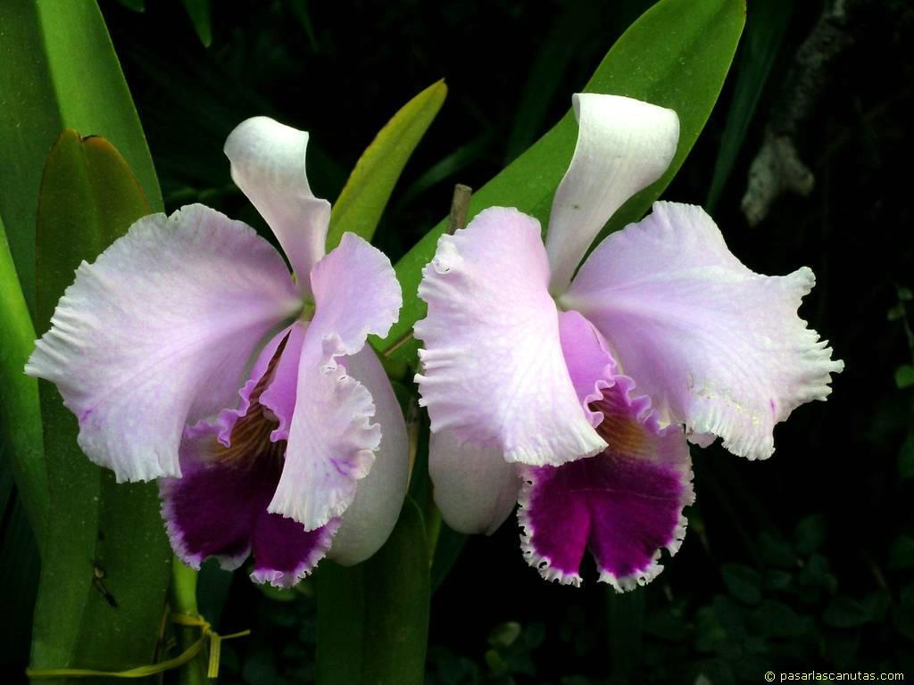Las orquídeas son plantas herbáceas, perennes (raramente anuales