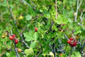 Squawbush berries, Custer County, Colorado, July 2007