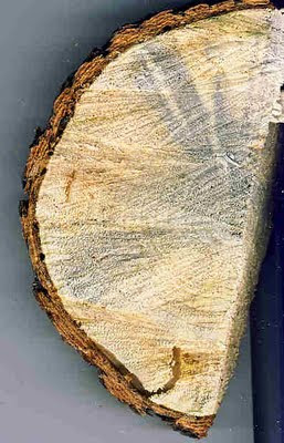Blue stain from pine beetles in ponderosa pine.