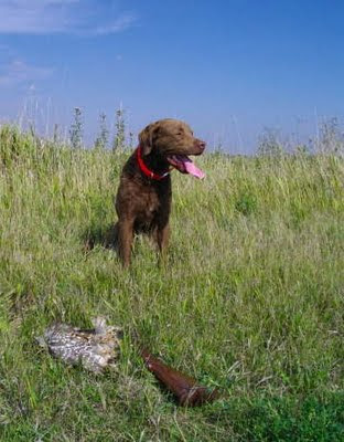Fisher with sharp-tailed grouse, North Dakota, Sept. 2009. Photo by Chas S. Clifton