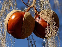 Acorns hanging from tree