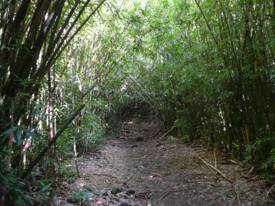 Bamboo forest near three peaks in Hawaii