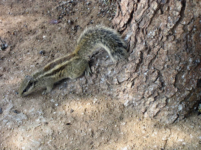 one striped squirrel