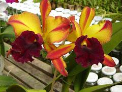 Orquídeas em nossas vidas..!