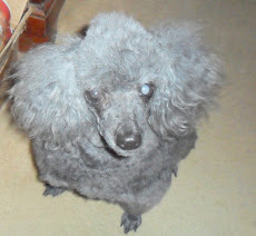 My Misty Louise, Apr/1996, near blind Miniature Poodle