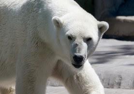 Beruang Kutub Berkulit Hitam
