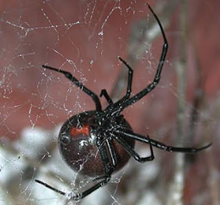 Redback Spider - Snake-Eating Spider