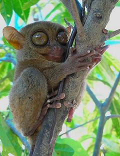 Philippine Tarsier - The Largest Eyes Mammal