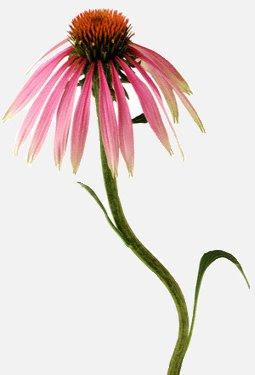 Cone Flower, or Echinacea