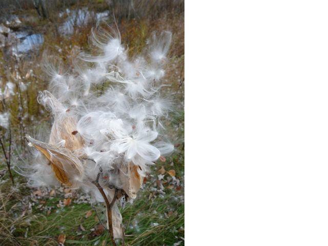 [milkweed.aspx]