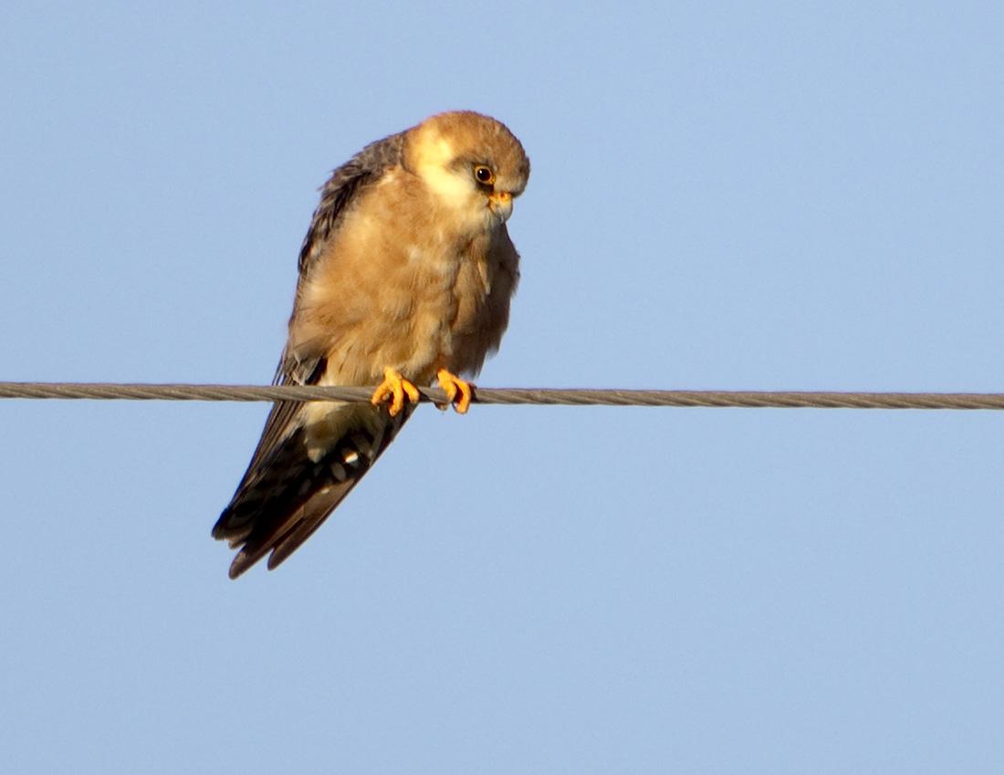 Falconiformes. sub Falconidae - sub fam Falconinae - gênero Falco - Página 3 Red-footed+Falcons20100430_3556