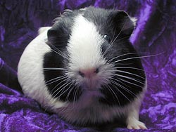 Maddie, a sanctuary pig with CA rescue Orange County Cavy Haven