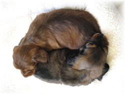 Doxie Ying-Yang Look how smart they are!!