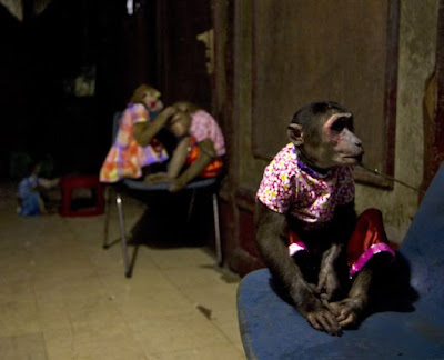 A female monkey lip-synchs song at a monkey show