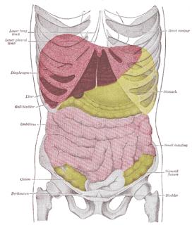Dove si trova il fegato?