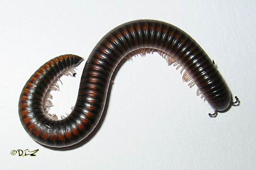 Bugs that look like centipedes