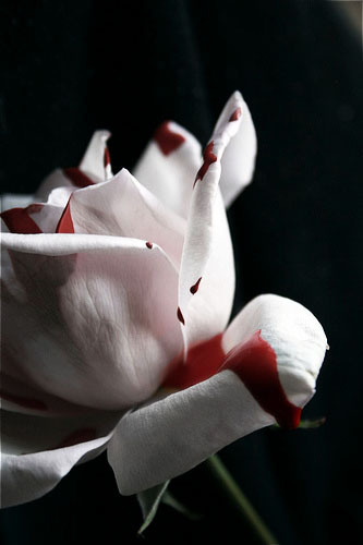 [Rose+blood.jpg]