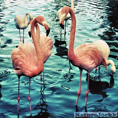 http://2.bp.blogspot.com/_6ANko4sjweM/Swrk34HWEII/AAAAAAAAXDk/_tV1MXwnmk4/s1600/Flamingos_1.png
