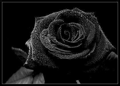 http://2.bp.blogspot.com/_6B7D3TK3kwo/TM6mJuubLbI/AAAAAAAAABg/jdwTxYlwozo/S749/887490black_rose.jpg