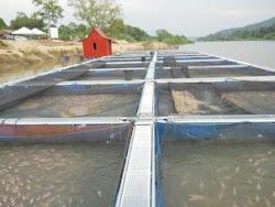 Ternakan Ikan Air Tawar Kuala Kangsar