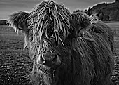 Miniature Scottish Highland cow