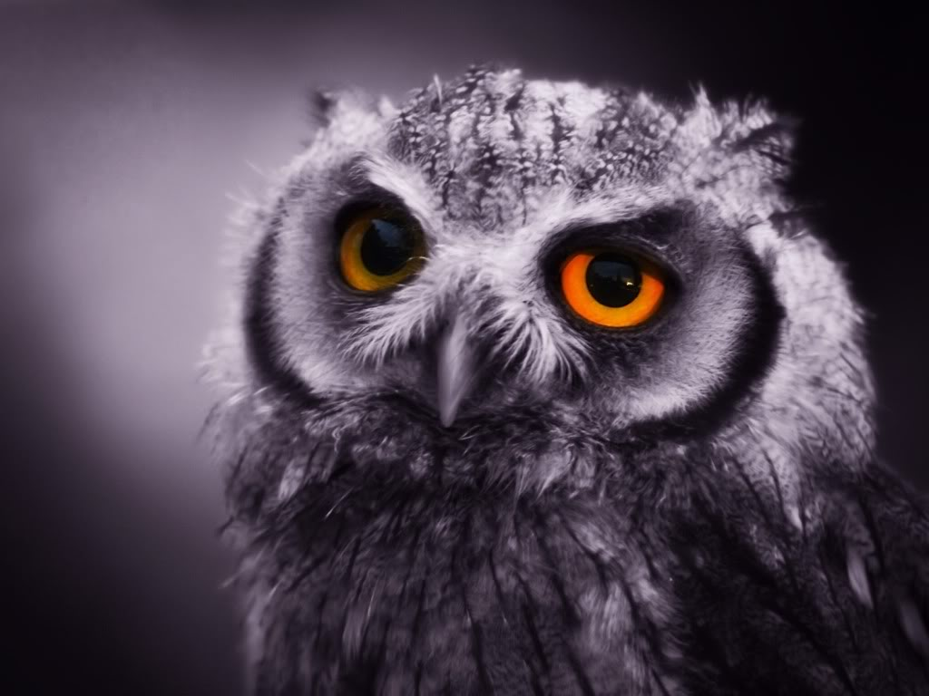 was born a night owl and will always be a night owl i think it s    Owl Wallpaper