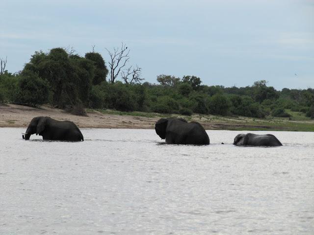 elefantes bebiendo en rio, rio zambezi, chobe, elefantes cruzando rio