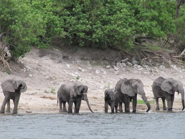 elefantes bebiendo en rio, rio zambezi, chobe