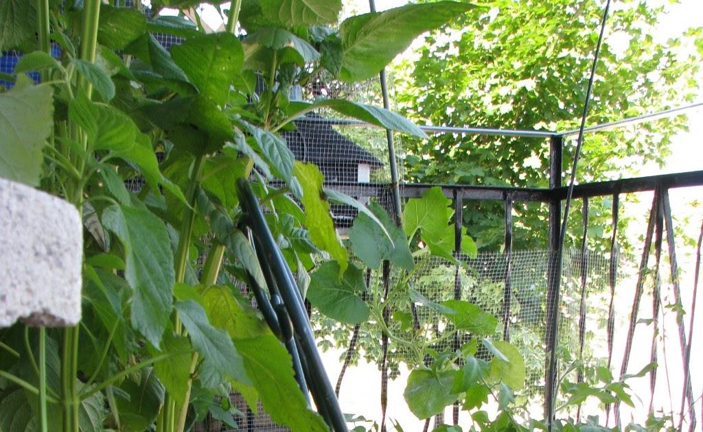 permaculture en climat froid quelques photos de mon jardin de balcon en 2008. Black Bedroom Furniture Sets. Home Design Ideas