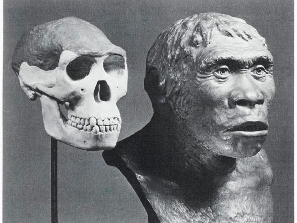 Homo Erectus Skull D...