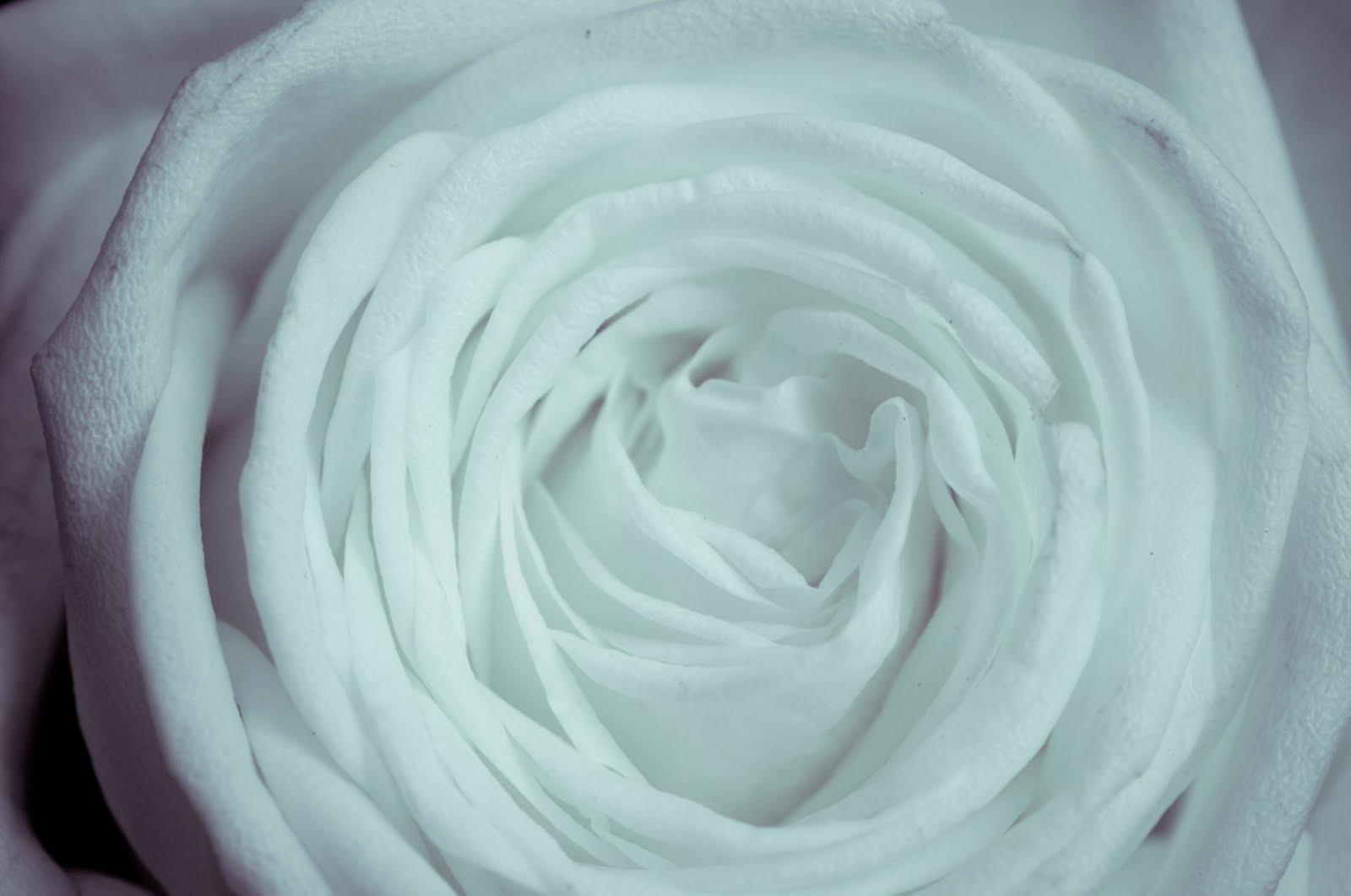 http://2.bp.blogspot.com/_6Ks7mquN8BQ/TQpCDToImmI/AAAAAAAAAnU/yN2OL5Z5H_8/s1600/trandafir_alb.jpg