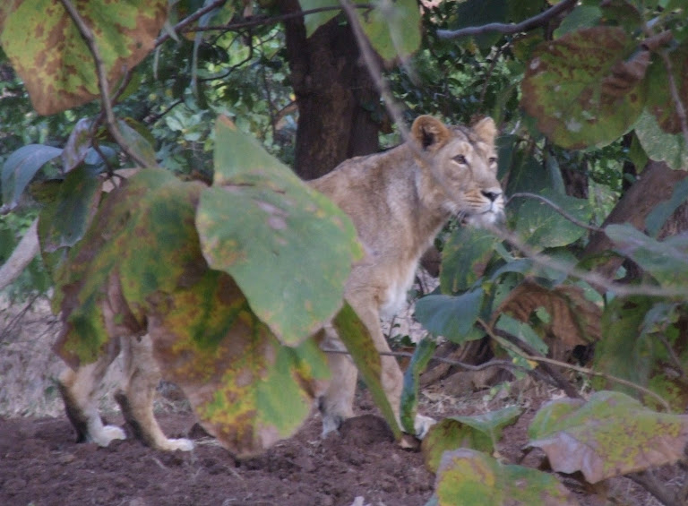 Gir National Park & Lion Sanctuary