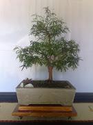 Bonsai - Caliandra