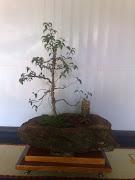 Pre-bonsai - Ficus