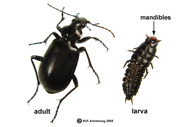 Ground beetle larvae in house