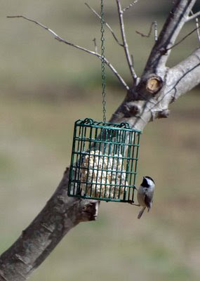 Suet Breakfast for a Chickadee