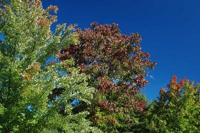 the red maple standout deserves a closer look