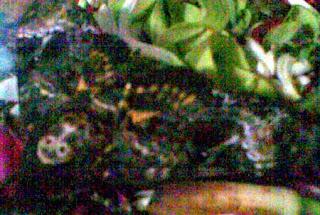 Kupu-kupu yang menghebohkan warga Tambakasri