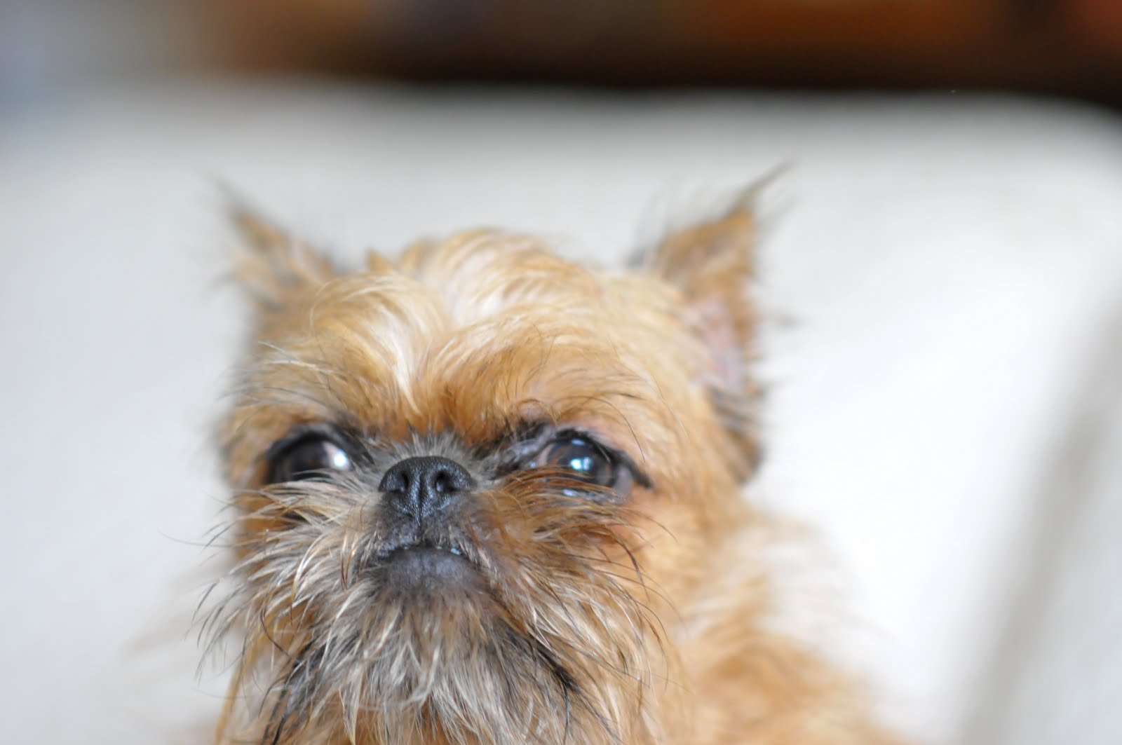 Brussels Griffon Puppies Los Angeles