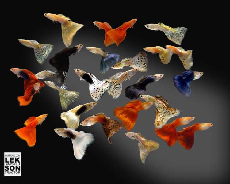Beginner aquarium fish for Beginner fish tank