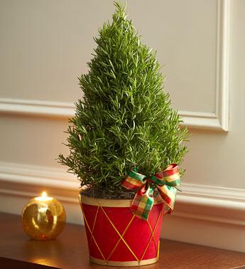 rosemary christmas trees
