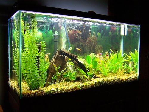 Setting up freshwater aquariums tropical fishes and for 38 gallon fish tank