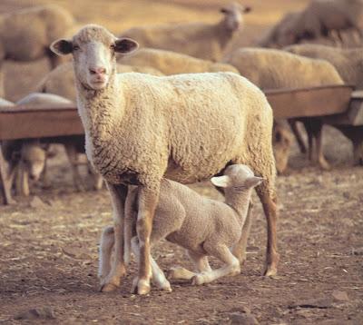 caracteristica cabra: